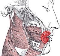 En rojo, músculo orbicular de la boca.