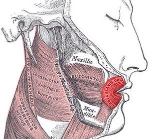 Facial feedback hypothesis - Orbicularis oris muscle