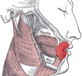 Orbicularis oris muscle - Image: Orbicularis oris