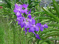 Orchids in Thailand 2013 2740.jpg