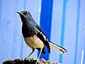 Oriental Magpie-Robin.jpg