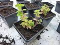 Origanum vulgare young plant.JPG