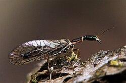Ornatoraphidia flavilabris.jpg