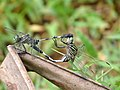 Orthetrum sabina mating at Kadavoor.jpg