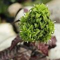 Orthophytum sp.-IMG 5597.jpg