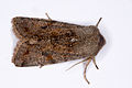 Orthosia cruda01, Lodz(Poland)(js).jpg
