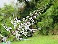 Orthosiphon aristatus flower (5).jpg