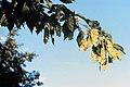 Ostrya virginiana NRCS-1.jpg