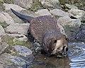 Otter 1 (4469766217).jpg