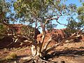 Outback Trip - Kings Canyon Ghost Gum (4148432364).jpg