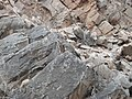 Outback Trip - Yellow-Footed Rock Wallaby 4 (4157944272).jpg