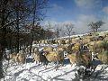 Ovejas churras en Burgos.jpg