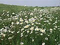 Ox-eye Daisies in the Rape. - geograph.org.uk - 460455.jpg
