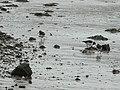 Oystercatchers, Deganwy - geograph.org.uk - 616455.jpg