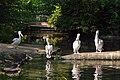 Pélican blanc (Zoo-Amiens)b.JPG