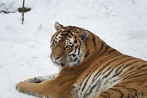 Female Panthera tigris altaica, Leipzig Zoo / ...