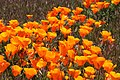 POPPY, CALIFORNIA (eschscholzia californica) (4-24-10) carrizo plain nat mon -03 (4552316321).jpg