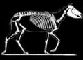 PSM V67 D571 Skeleton of the neohipparion whitneyi.png