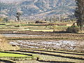 Paddy fields Madagascar 4.JPG