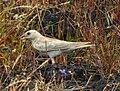 Pale rockfinch (ഇളം പാറക്കുരുവി ) - 15 2.jpg