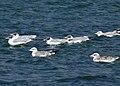 Pallas's Gull (Larus ichthyaetus) (45679374135).jpg