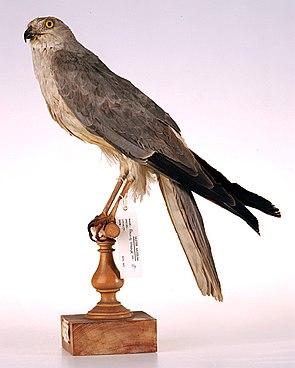 Steppenweihe (Circus macrourus) ♂, Präparat im Ulster Museum in Belfast