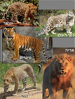 Panthera (Hebrew).jpg