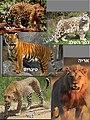 Panthera (Hebrew).jpg