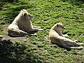 Panthera leo (white) 2014-09-19 1.JPG
