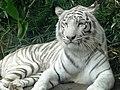 Panthera tigris tigris albino1.jpg