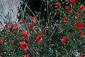 Papaver roheas-Coquelicot-20160603.jpg