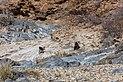 Papión chacma (Papio ursinus), parque nacional de Namib-Naukluft, Namibia, 2018-08-06, DD 06.jpg