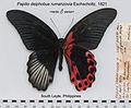 PapilioDeiphobusRumanzoviaMUpUnAC1.jpg