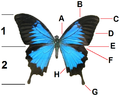 Papilio ulysses ulysses wings tagged.png