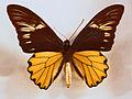 Papilionidae - Troides amphrysus.JPG