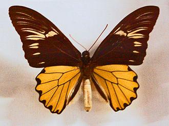 Troides amphrysus - Male, upperside