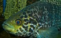 Parachromis managuensis (Panama).jpg