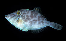 Parika scaber (Smooth leatherjacket).jpg