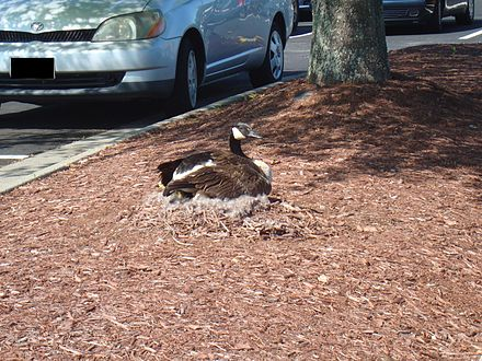 Roosting in a parking lot ParkingLotMotherCanadaGoose.jpg