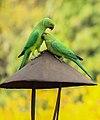 Parrot India.jpg