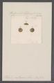 Patula putrescens - - Print - Iconographia Zoologica - Special Collections University of Amsterdam - UBAINV0274 091 04 0020.tif
