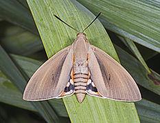 Paysandisia archon MHNT female.jpg