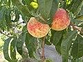 Peaches, 2020 Marcali.jpg