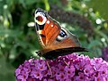 Peacock Butterfly on Buddleia - geograph.org.uk - 1438605.jpg