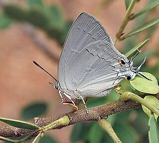 <i>Tajuria</i> Butterfly genus in family Lycaenidae