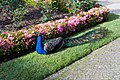 Peacock at Taylors (3898510810) (2).jpg