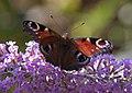 Peacock butterfly 1 (3845604645).jpg