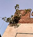 Peepul Tree In Wall.jpg