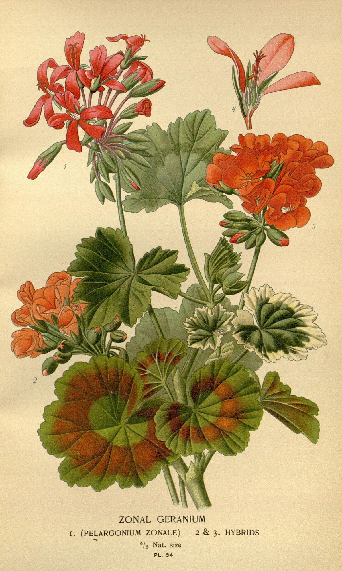 pelargonium zonale � wikip233dia