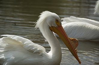 American white pelican - In breeding condition at Tulsa Zoo, USA